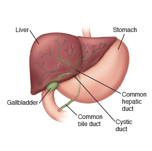 Front view of liver, gallbladder, and stomach.