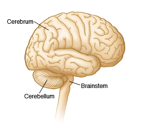Image showing parts of the brain, including the cerebrum, cerebellum, and the brainstem.