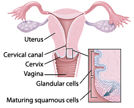 Cross section of uterus showing cervical canal in cervix and vagina. Closeup of cross section of cervix showing glandular cells in cervical canal and maturing squamous cells on outside of cervix.