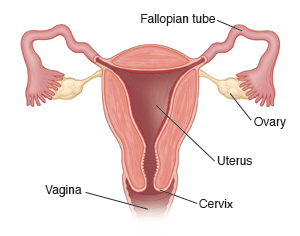 Cross-section of uterus with Fallopian tubes, ovaries, cervix, and vagina.