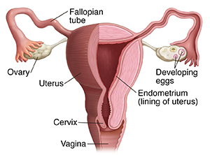 Front view of uterus, fallopian tubes, and ovaries. Half has been cross sectioned to show inside. Vagina is opening to outside. Cervix is lower part of uterus connected to vagina. Two fallopian tubes lead from uterus to ovaries, one on either side of uterus. Ovaries have developing eggs inside. Uterus is lined on inside with endometrium.